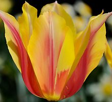 Flame Tulips by jselliott