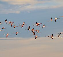 Greater Flamingo - Flying Colors by LivingWild
