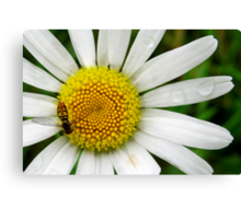 He Loves Me, He Loves Me Not... Canvas Print
