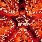 Magnificent Fire Urchin, Wakatobi National Park, Indonesia by Erik Schlogl