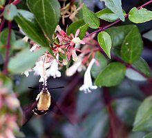 Strange Bee - Hummingbird Moth by hisnibs