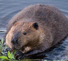 Beaver Shot by zpaperboyz