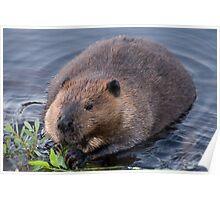 Beaver Shot Poster
