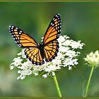 Monarch by Cargomom