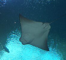 Manta Ray from Below by B. Brannen