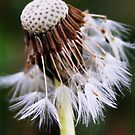 dandelion by Tamara Brandy