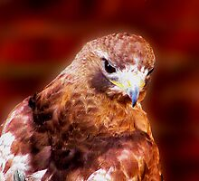 RED TAIL HAWK by rjf5