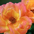 Summer rose in delicious sherbet colors by Karol Franks