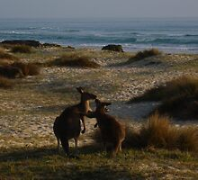 Wallabies on beach by Samantha  Goode