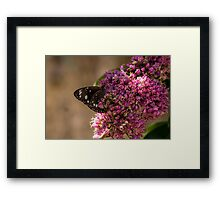 Common Crow Butterfly - Wings Closed Framed Print