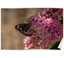 Common Crow Butterfly - Wings Closed Poster