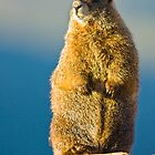 Golden Marmot by Jay Ryser