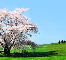 Cherry Tree Panorama by Francesa