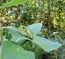 Tree Frog on Leaf in the Forest - Nature Photography by Barberelli by Barberelli