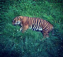 Sleeping Tiger by Stephanie Charlesworth