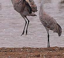 Courtship of the Sandhill Cranes by Dawne Olson