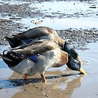 Two Mallard Ducks drinking in a muddy puddle. - Wild Nature Photography by Barberelli by Barberelli