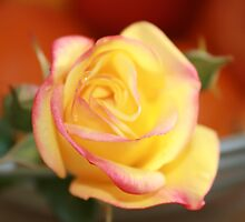 Pink and Yellow Rose by elphonline
