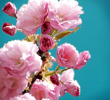 Spring Cherries II by StarlingPhotos