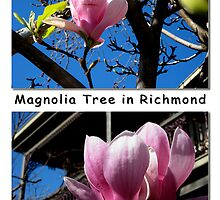 Richmond's Blooming Magnolia Trees by Keith Richardson