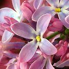 Lila Springtime by SmoothBreeze7