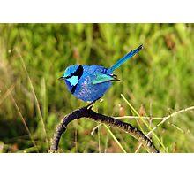 Blue Wren Busselton Western Australia Photographic Print