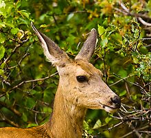 Mule Deer Doe by Jay Ryser