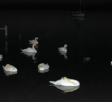 Christchurch -Swans at Night. by delros