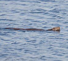 Swimming Otter by kernuak