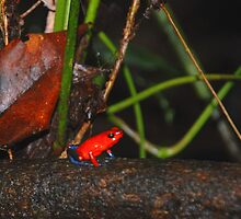 Poison Dart Frog by Furlong
