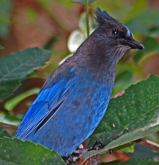 Stella, the Stellar Blue Jay by Lenny La Rue, IPA