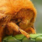 Spiny Oakworm Moth Closeup by Jocelyn Hyers