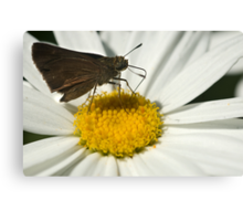 A daisy's offering! Canvas Print