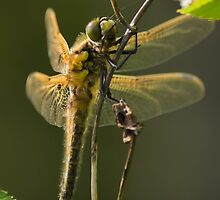 Four Spotted Chaser by kernuak
