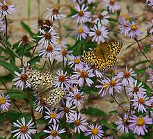 BUTTERFLIES & ASTERS by kotybear