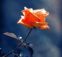 Rose Flower by cinema4design