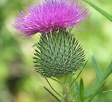 Purple Thistle by ChereeCheree