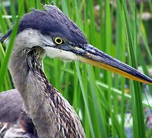 Heron Close and Personal by Robert Goulet