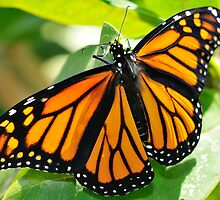 Monarch on Milkweed by Geoffrey