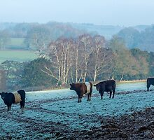Belted Galloways grazing in winter by Judi Lion