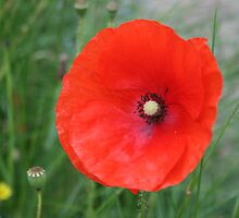 In Flanders Field by Edward Gunn