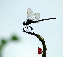 Silhouette of a Dragonfly by Donna Adamski