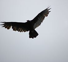 turkey vulture by kari2867