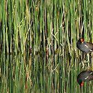 Moorhen in Reeds by Troy Spencer