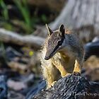 Numbat-5 by Rick Playle
