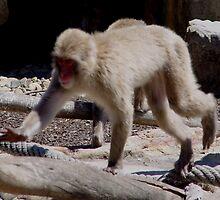photoj Animal-Monkey by photoj