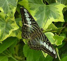 camouflage (Parthenos sylvia 'lilacinus') by WonderlandGlass