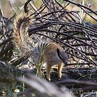 A young Numbat by Rick Playle