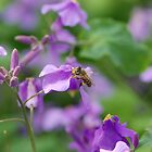 Honey Bee by ssphotographics