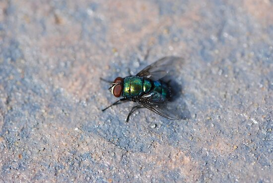 aussie blow fly by ssphotographics
